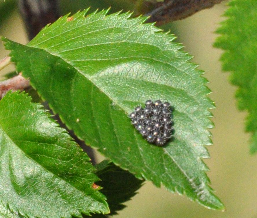 Predatory Stink Bug Eggs (Asopinae)