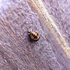 Multicolored Asian Lady Beetle Pupa