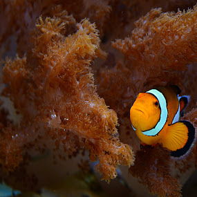 Clown Fish by Jennifer Parmelee - Animals Fish ( water, underwater, colors, fish, places,  )