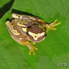 Harlequin Tree frog