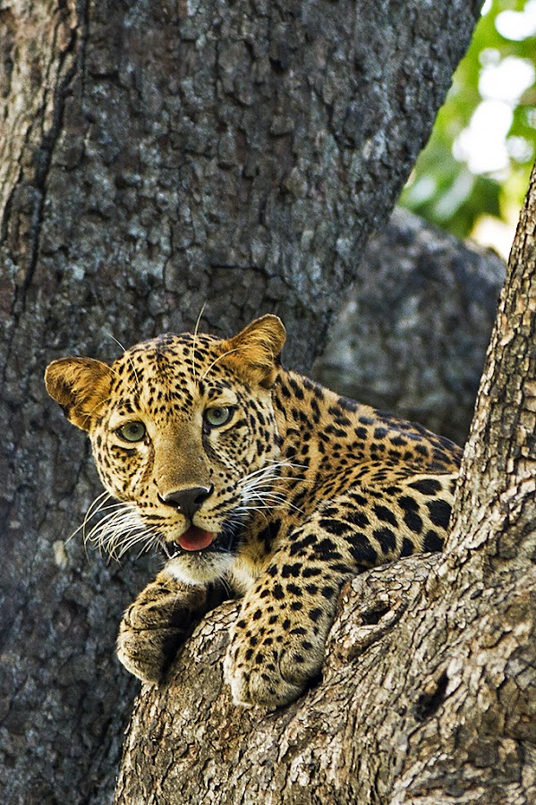 Leopard Cools off by Kirti Ranjan Nayak - Animals Lions, Tigers & Big Cats ( cats, wild, big cats, wilderness, safari, wildlife, tadoba, leopard )