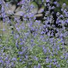 Salvia - not Lavender