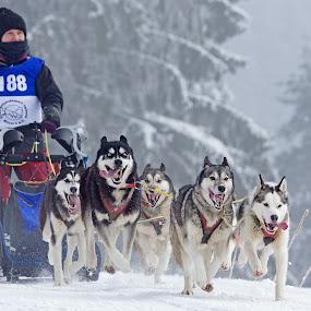 Crazy Dog by Jürgen Mayer - Sports & Fitness Snow Sports ( sled dog, eis, dogs, schlittenhund, kalt, hund, sport, hunde, kälte, winter, cold, ice, snow, winterport, schnee, dog )