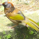 chestnut laughing thrush