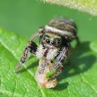 Jumping spider (female with prey)