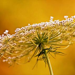 Nature's Frills by Darlene Lankford Honeycutt - Flowers Single Flower ( wild, queen anne's lace, deez, white, dl honeycutt, flower,  )