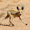 Rüppell's fox