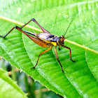 Common Bush Cricket