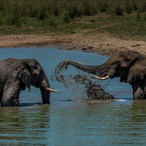 Playtime by Richard Ryan - Animals Other Mammals ( water, elephants, play, tusks, africa,  )