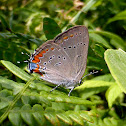 Acadian Hairstreak ssp. acadica