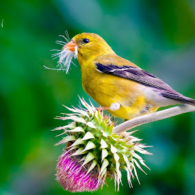 American Goldfinch by Paul Brown Jr. - Animals Birds (  )