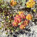 unknown wildflowers