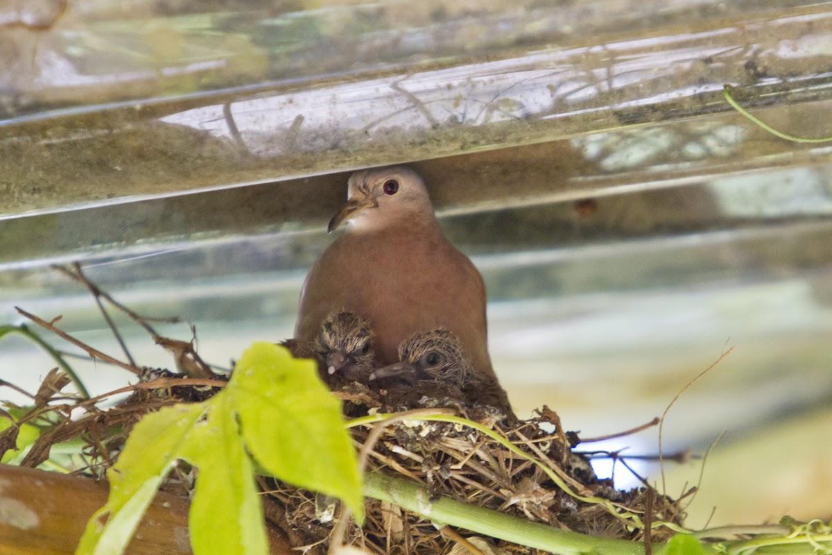 Ruddy ground doves
