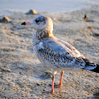 Ring-billed Gull (Juvenile)