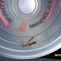 Wasp Mantidfly