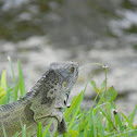 Green Iguana or Common Iguana