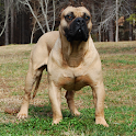 Boerboel Dog Wallpapers logo