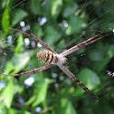 Saint Andrew's Cross Spider