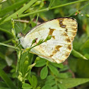 Plain Orange-tip (female)