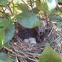 Brown Thrasher (nest)