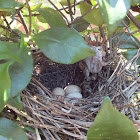 Brown Thrasher (nest)