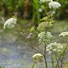 Water Hemlock