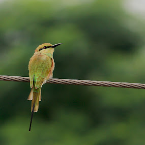 Watch by Abdul Rauf Chaudhry - Animals Birds ( bee eater lahore pakistan chaudhry jungle morning )