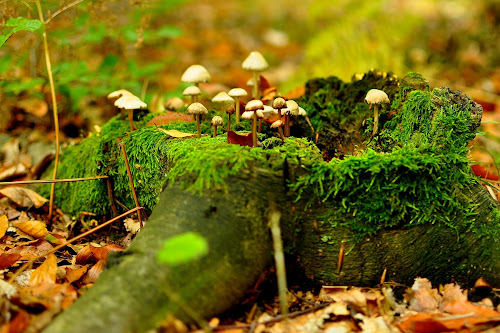 on an old stump by Dragutin Vrbanec - Nature Up Close Mushrooms & Fungi ( autumn, green, forest, leaves, moss., mushrooms )