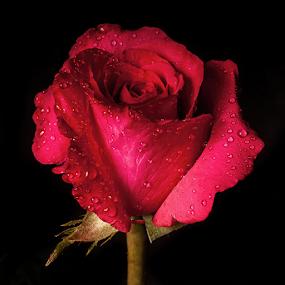 Rose with drops by Cristobal Garciaferro Rubio - Flowers Single Flower ( petals, drop, drops, flowers, flower, petal )
