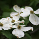 Dogwood Tree and Blooms