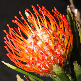 Protea Cushion by Judy Wright Lott - Flowers Single Flower ( bellingham, nature, plants, closeup photography, bloom, orange and yellow, flower )