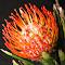 Protea Cushion closeup 3.jpg