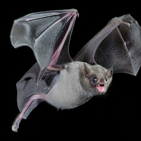 by Lisa Coletto - Animals Other Mammals ( bats, bat, nectar bats,  )