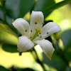 orange jasmine, bunga kemuning