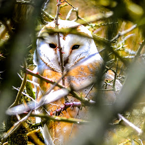 Barn Owl in hedge by Don Cardy - Animals Birds (  )