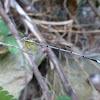 Yellow Bush Dart, Yellow Feather Legs
