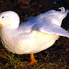 Pekin Duck (domestic Mallard breed)