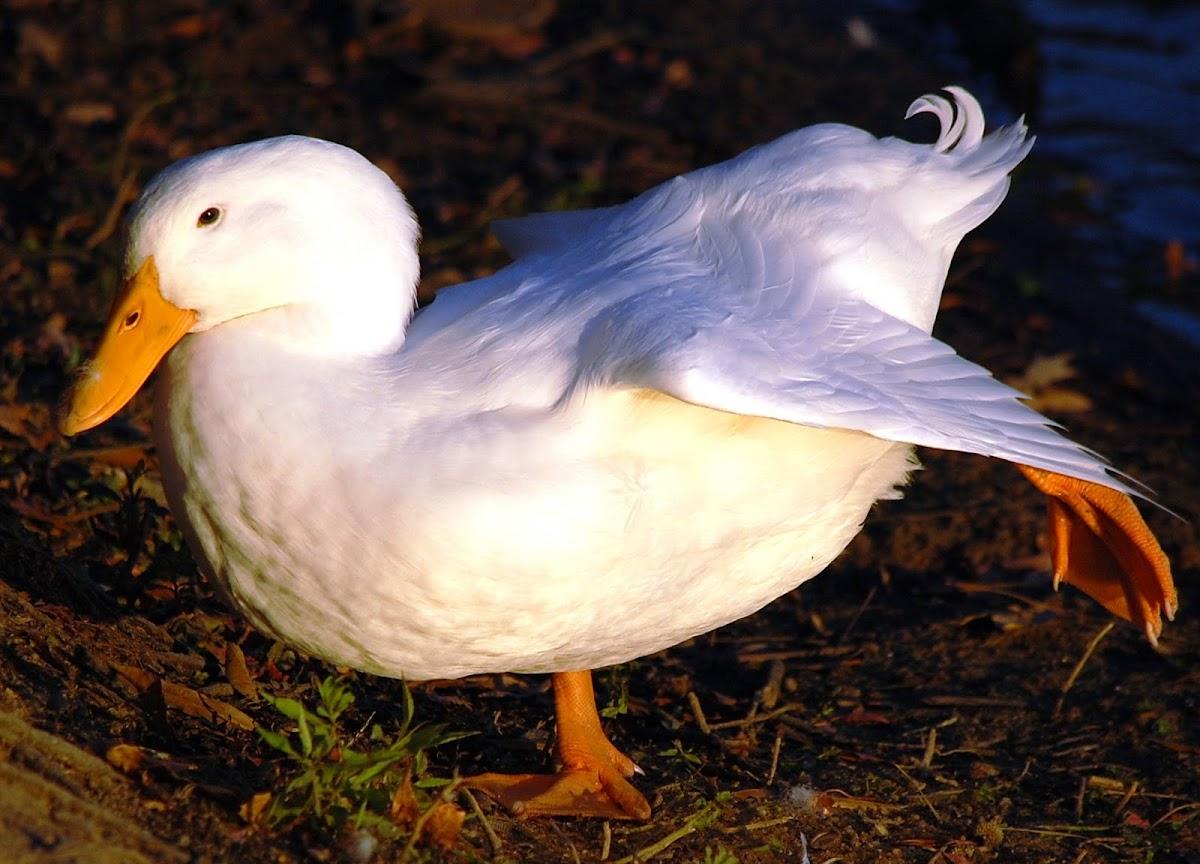 Pekin Duck (domestic Mallard breed)