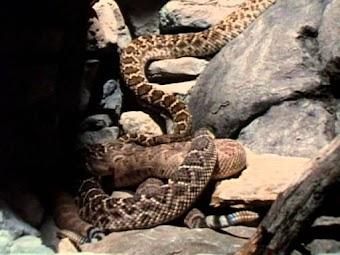 Snakedance