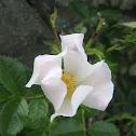 Rosal silvestre - Dog rose
