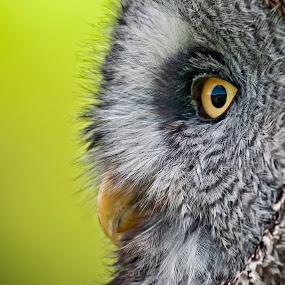 Great Grey Owl by Simon Armstrong - Animals Birds ( potrait, birds of prey, strix nebulosa, owls, great grey owl,  )