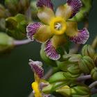 Prestonia , flor y frutos