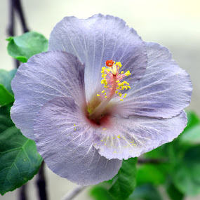 Violet Hibiscus by Timothy Carney - Flowers Single Flower ( hibiscus, tropical, violet, hawaii )