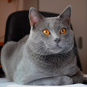 Hugo  by Serge Ostrogradsky - Animals - Cats Portraits ( cat, chartreux )