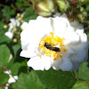 Flower Fly or Hoverfly