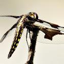 Portia widow (female)