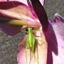 Great Green Bush-Cricket (Grünes Heupferd)
