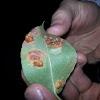 European Pear Rust