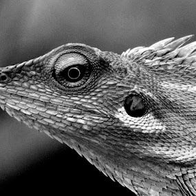 chameleon head by Tiz Brotosudarmo - Black & White Animals (  )
