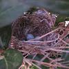 Northern mockingbird eggs and nest